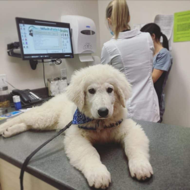 A Kuvasz puppy waiting for vaccination