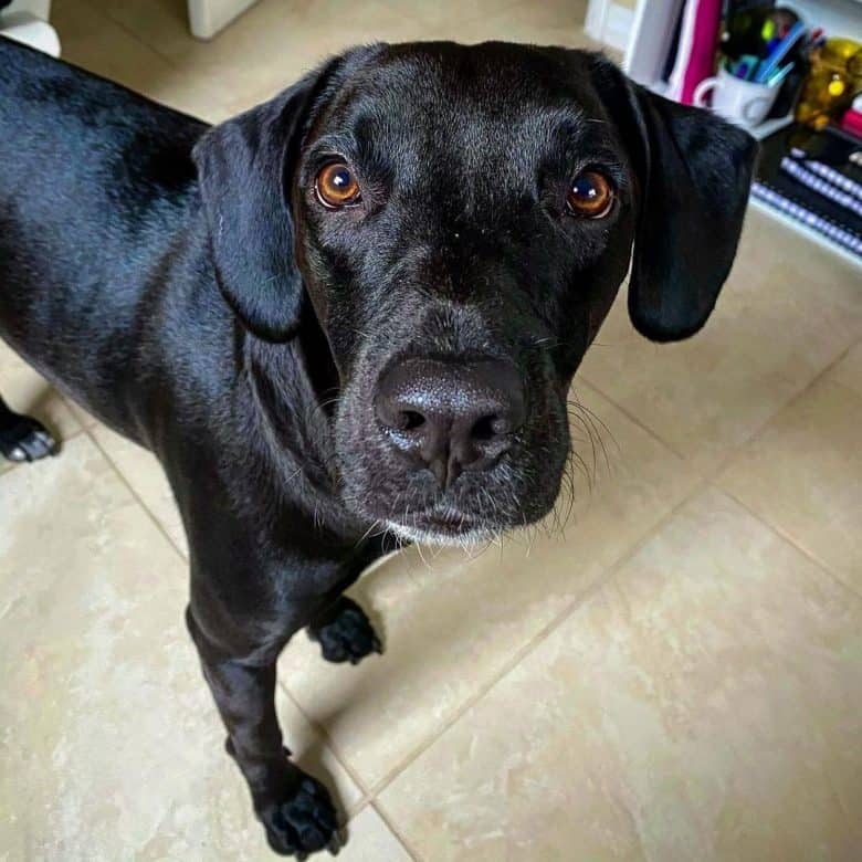 Lab Hound mix looking at the owner