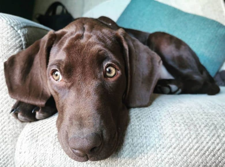 Labrador Pointer mix lying on the couch