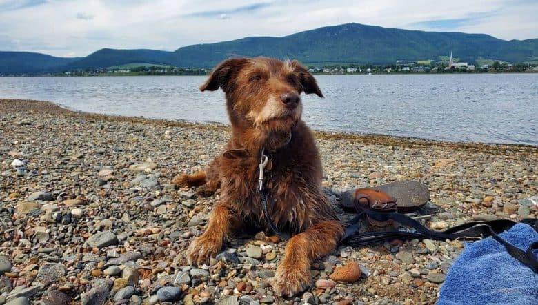 Lab Terrier mix chillin' in the seashore