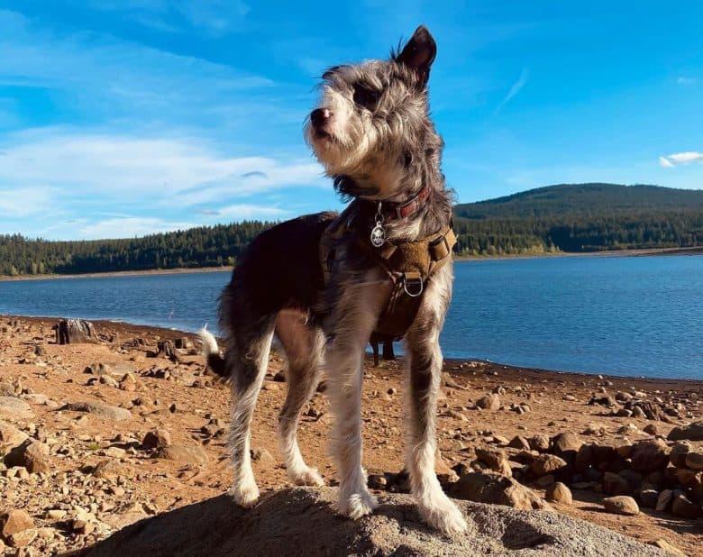 Lab Terrier mix exploring the seashore
