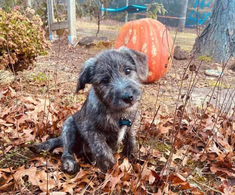 Cute Lab Terrier mix puppy