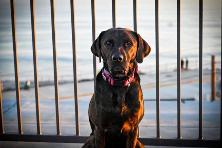 Labrador Retriever and Pit Bull mix dog