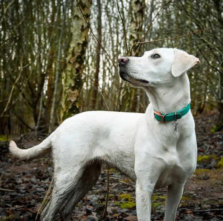 Labrador Retriever dog walking in the forest