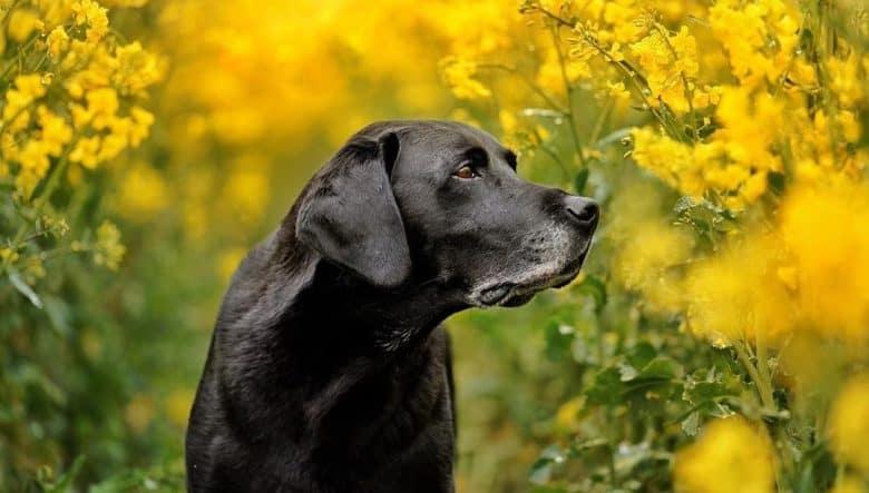 Labrador Retriever in a beautiful flower garden