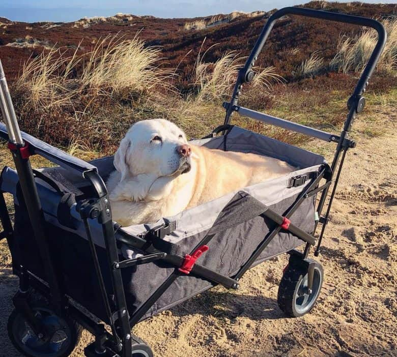 Labrador Retriever riding in a beach cart