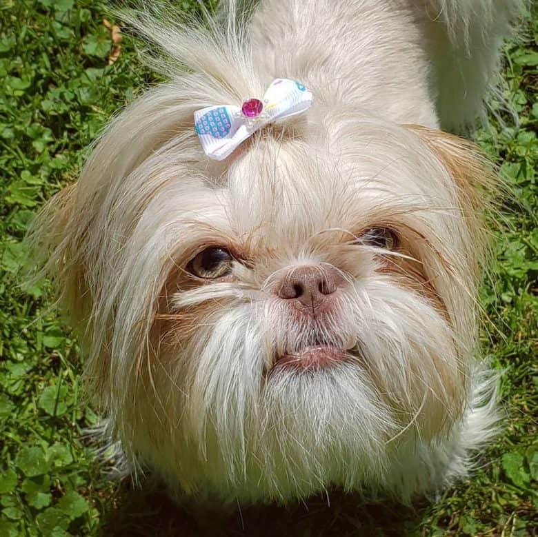 Lavender Shih Tzu puppy portrait