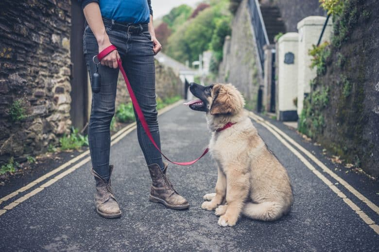 A Leonberger being trained by a woman