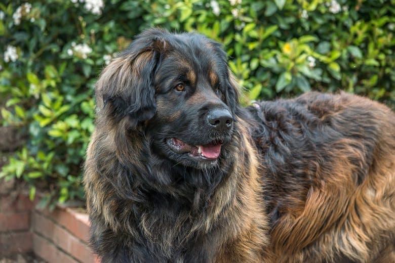 A huge Leonberger dog smiling