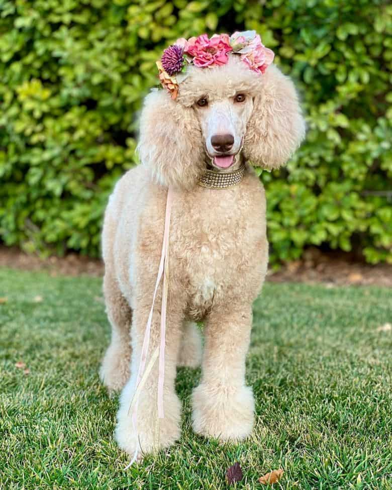 A standing light brown Standard Poodle wearing a flower crown