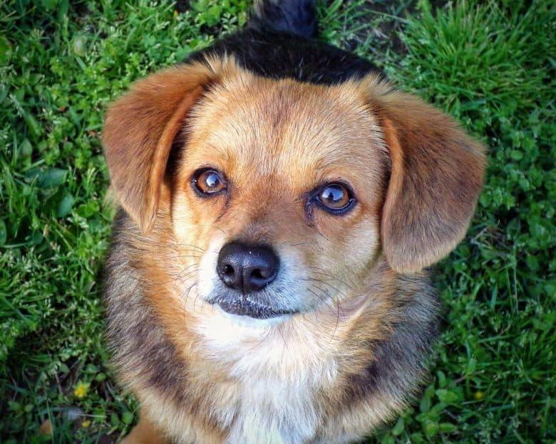 Little Beagle Pomeranian mix dog portrait