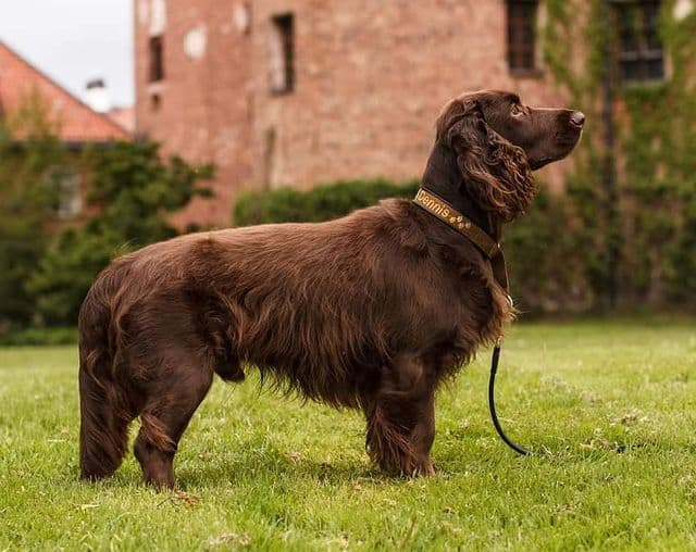 A standing long-haired Field Spaniel focusing