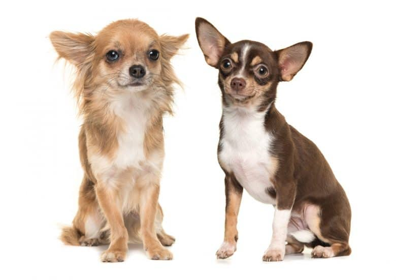 Long-haired Chihuahua on left vs short-haired Chihuahua on right