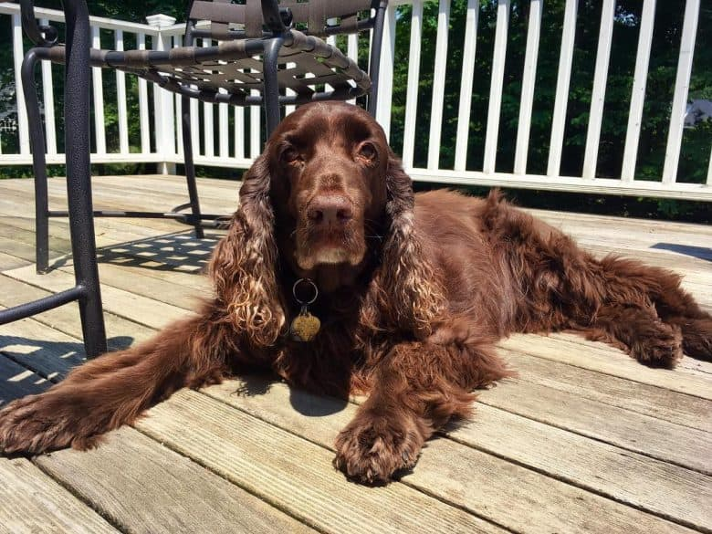 A Field Spaniel lounging in wooden floor under the sun