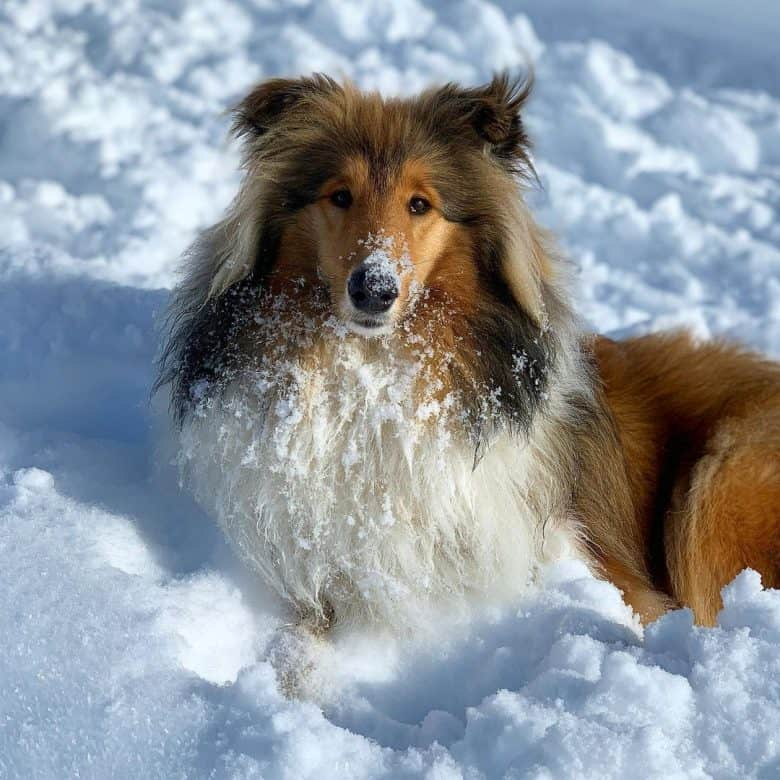 A magnificent Collie enjoying the snow