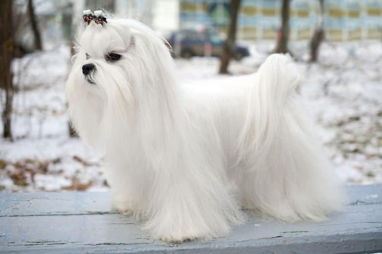 Maltese dog in a winter outdoor