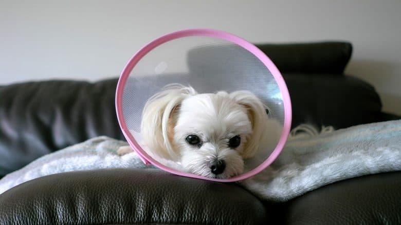 Maltese dog wearing cone collar