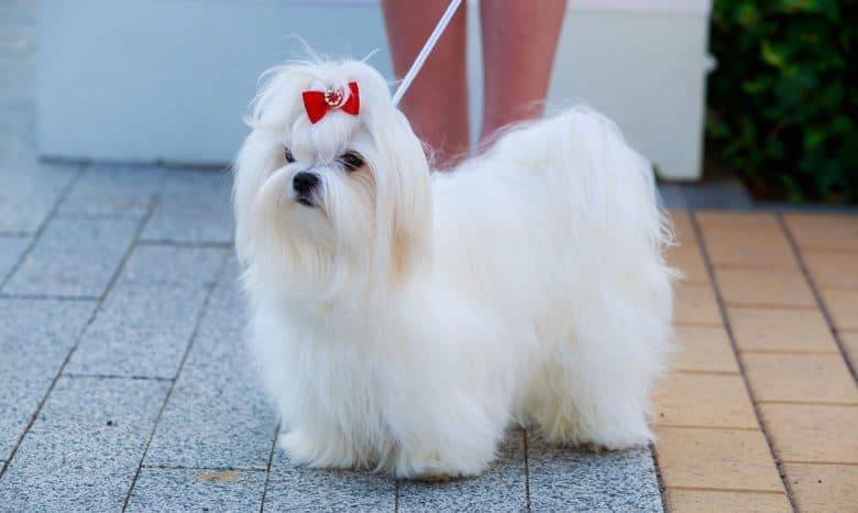 Maltese dog with a red ribbon hair tie