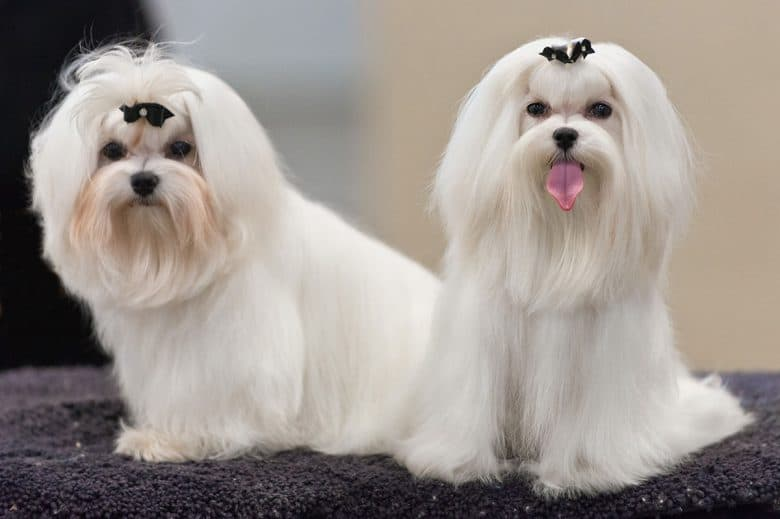 Maltese dogs at dog conformation show