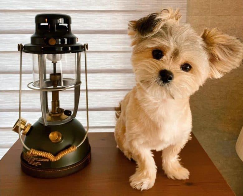 Maltese Pomeranian standing beside an oil lamp