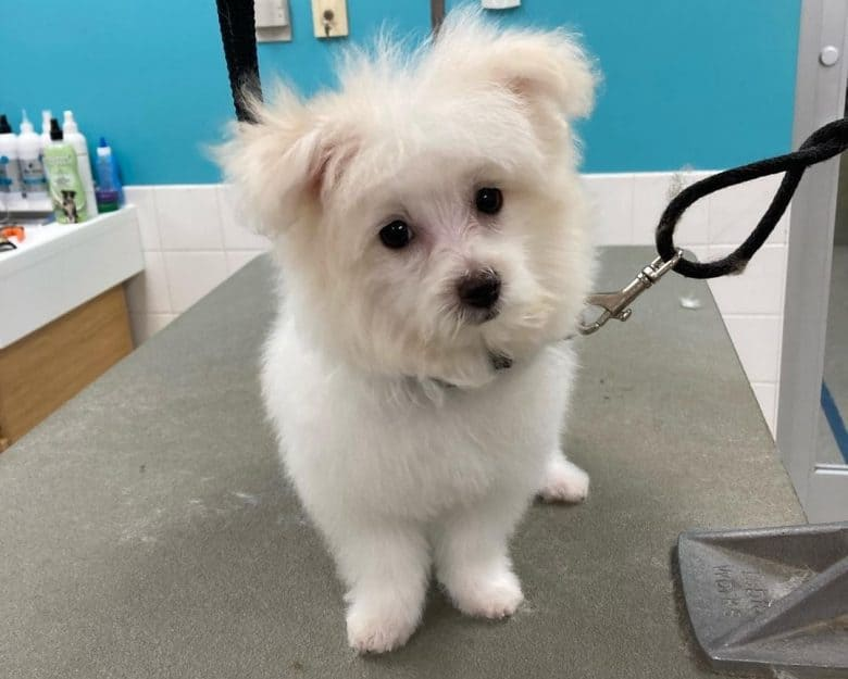 A white Maltese Pomeranian mix puppy at groomers