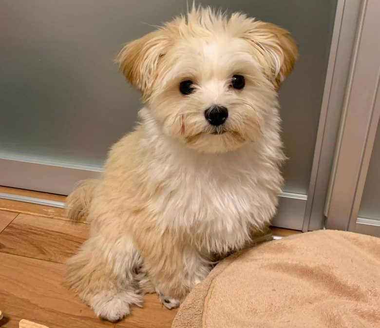 A Maltese Pomeranian mix puppy sitting