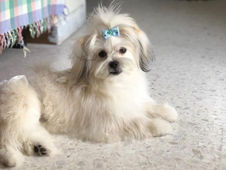 A long-haired Maltipom with blue hair tie