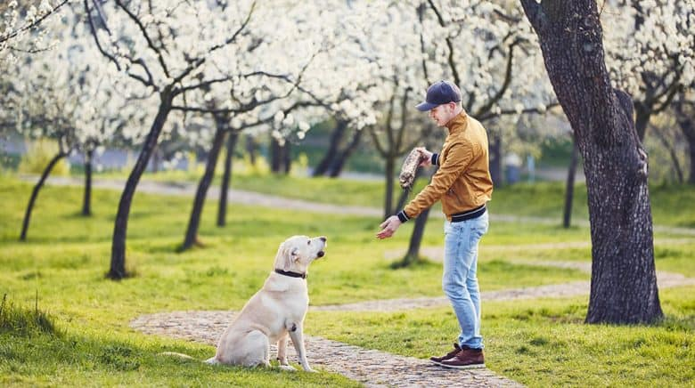 Man train his Labrador Retriever dog in a spring park