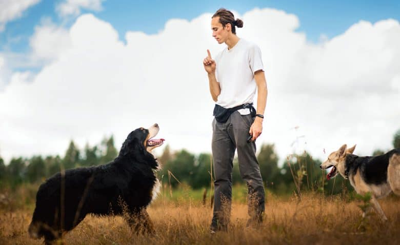 Man training the Bernese Mountain dog on the summer field
