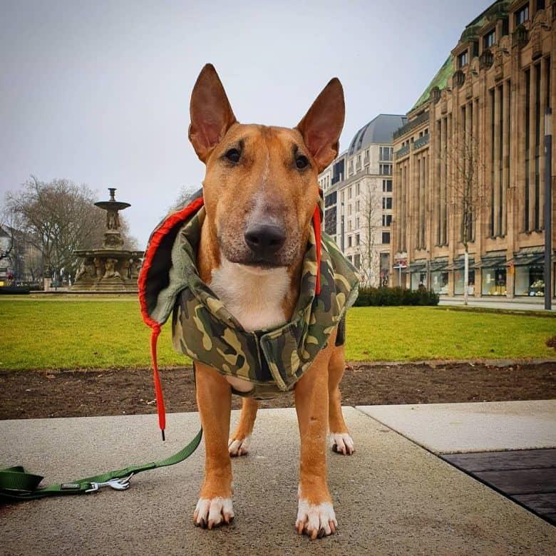 A Mini Bull Terrier wearing a dog jacket