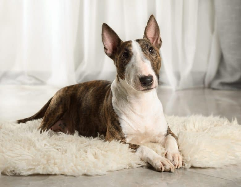 A Mini Bull Terrier laying down on a fur rug