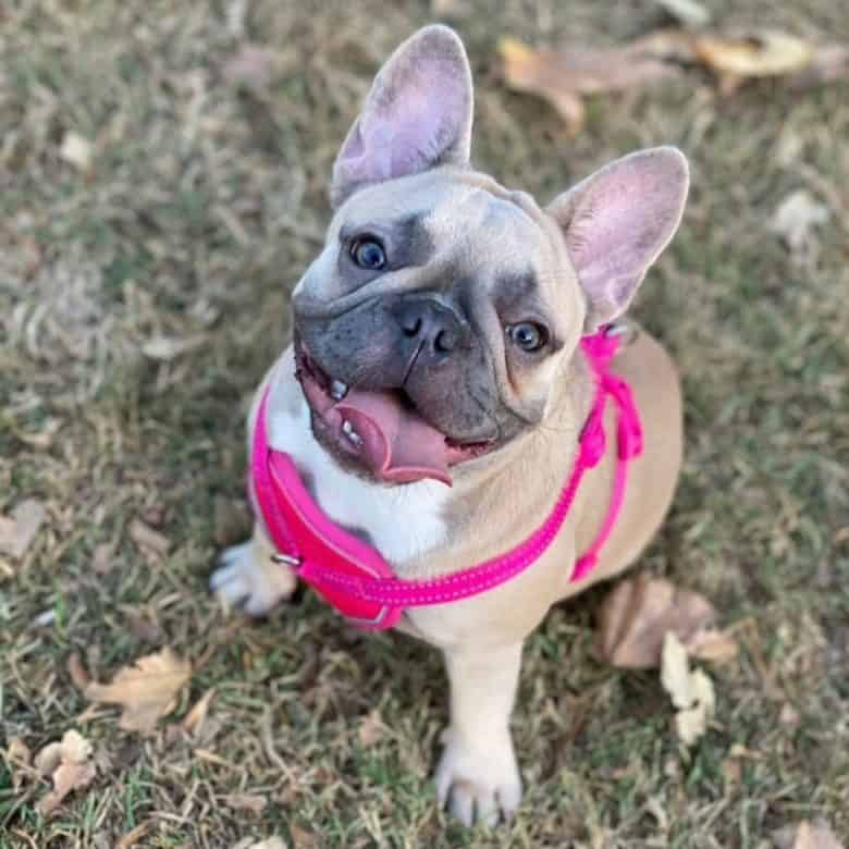 A Micro French Bulldog smiling sweetly on camera