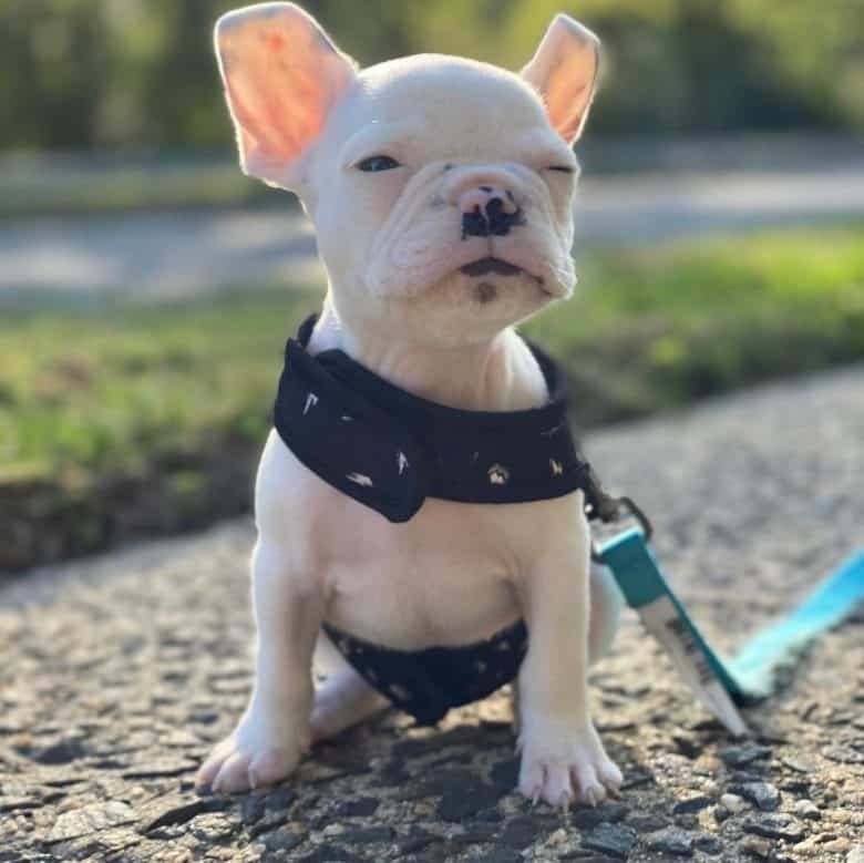A Mini French Bulldog squinting due to sunlight