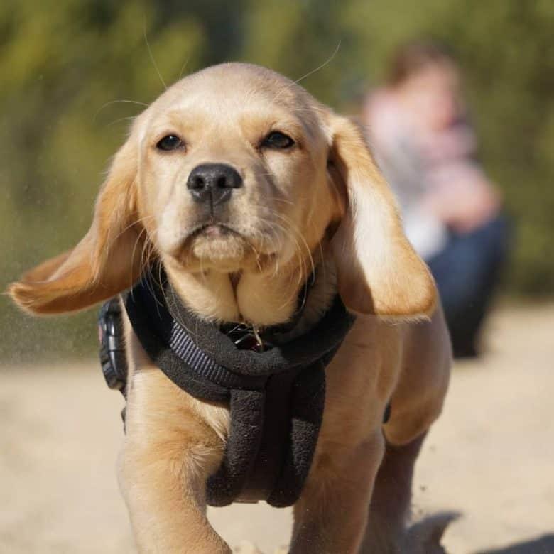 Mini Labrador close-up portrait
