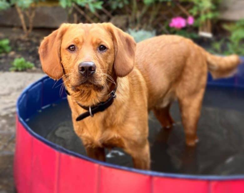 Mini Labrador standing in his pool
