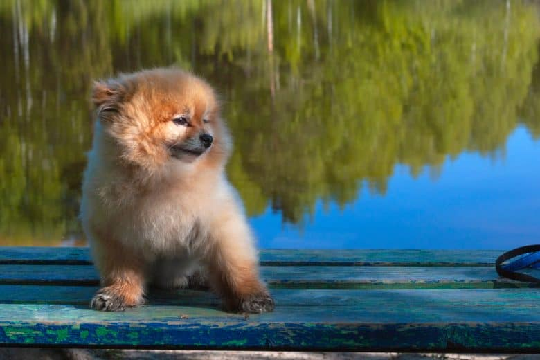 A Mini Pomeranian sitting on a bench with lake behind