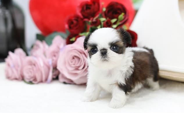 A Mini Shih Tzu puppy standing with flowers behind