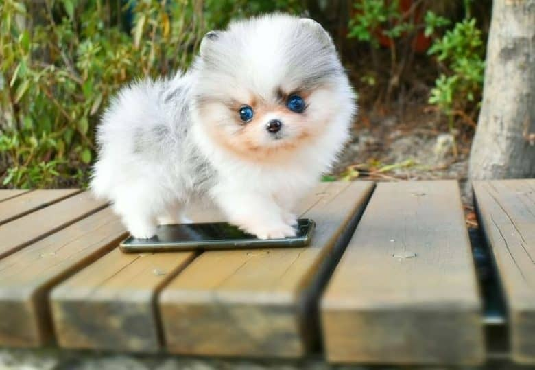 Miniature Pomeranian puppy as the size of a cellphone standing on a bench