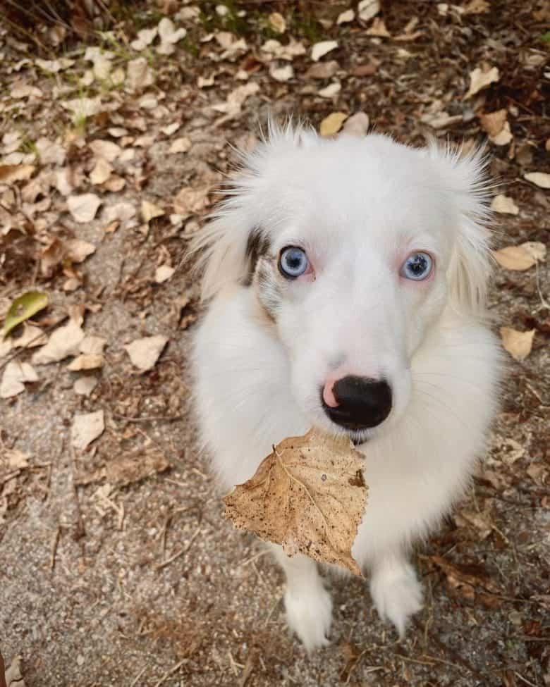 A Miniature Australian Shepherd biting a dried leaf