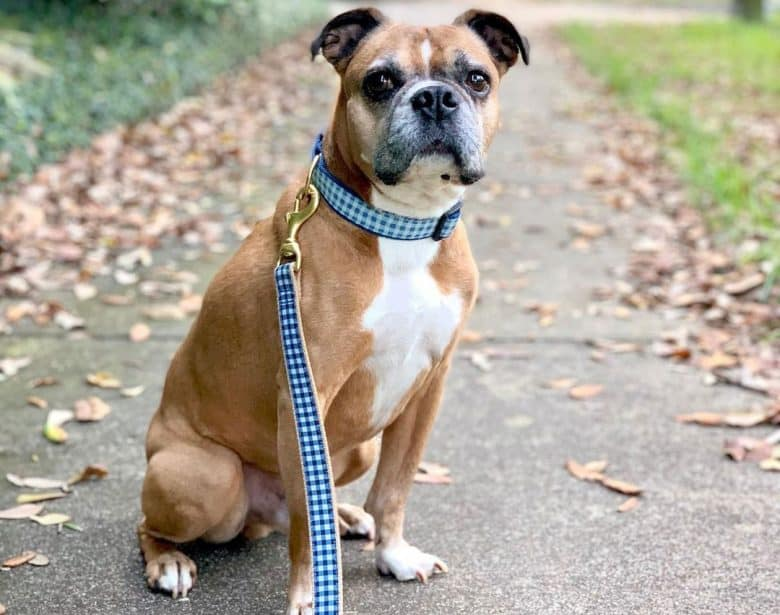 Miniature Boxer dog resting from a walk