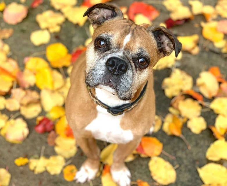 Miniature Boxer dog sitting on colorful fallen leaves