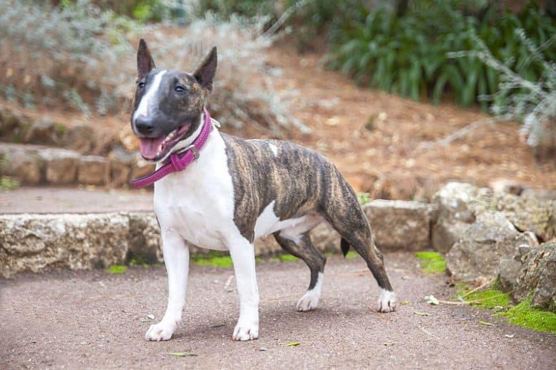 Female Miniature Bull-Terrier dog