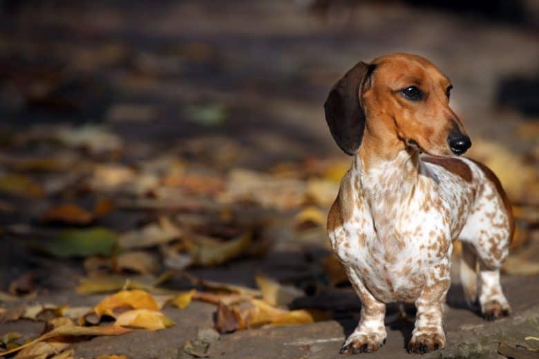 A Miniature Dachshund walking during a fall season