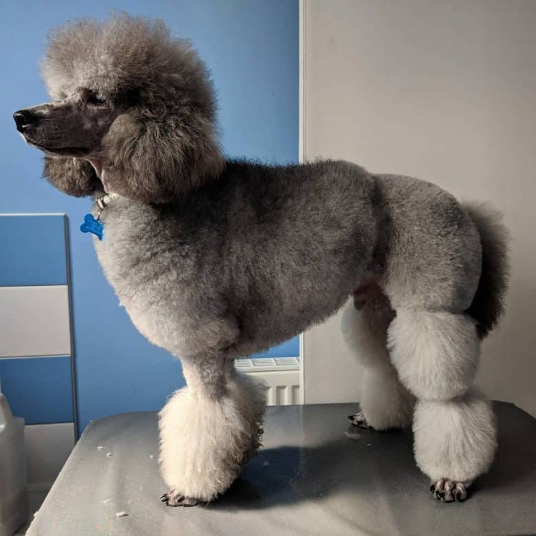 A gray Miniature Poodle standing after having an English Saddle Cut