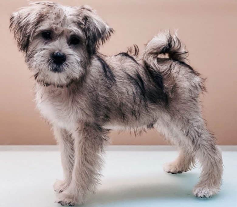 Miniature Schnauzer and Shih Tzu mix dog portrait