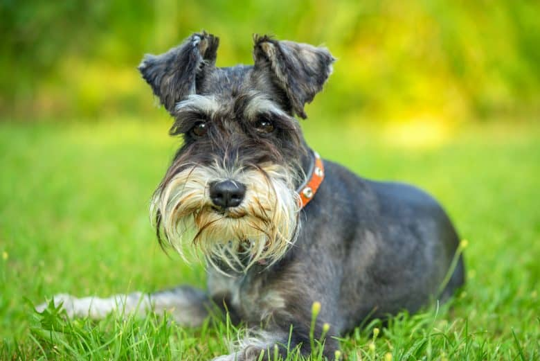 a Miniature Schnauzer smirking while laying on the grass