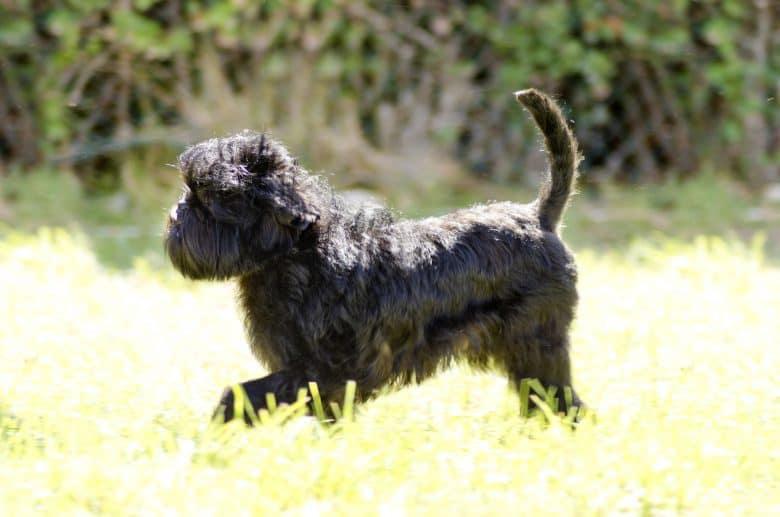 a Monkey Dog (Affenpinscher) with a shaggy coat walking on the grass