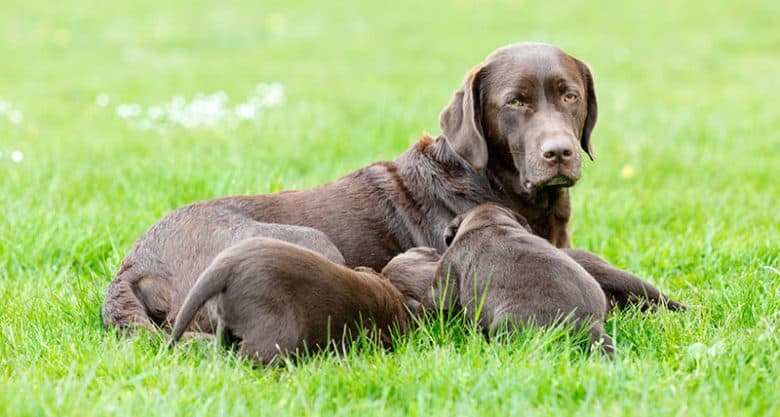Mother Labrador Retriever with her puppies