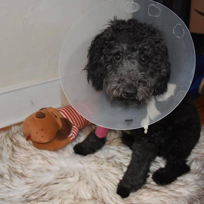 A Newfie-Doodle mix wearing a dog cone and sitting comfortably on a fluffy blanket