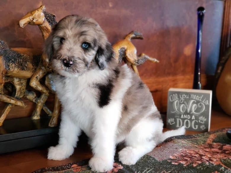 A cute Newfiepoo puppy sitting